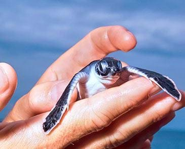 New born sea turtle